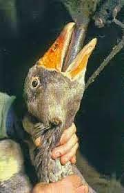 Is Foie Gras indefensible? by M. Kuehn